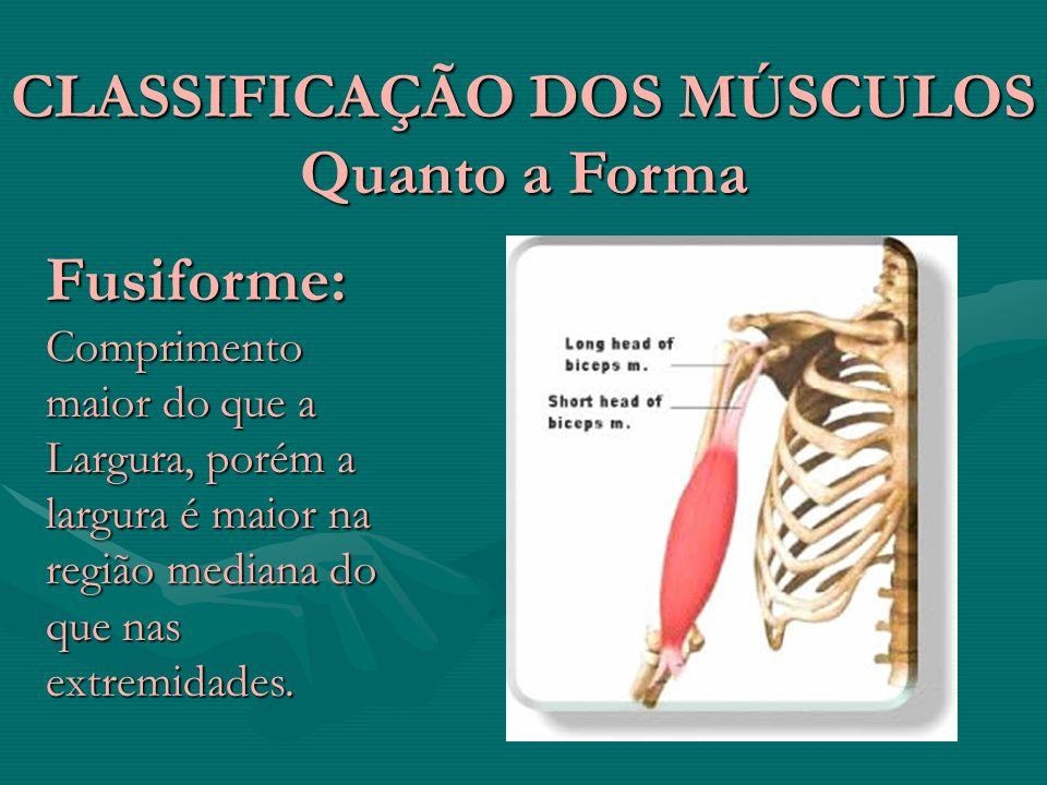 CLASSIFICAÇÃO DOS MÚSCULOS Quanto a Forma Fusiforme: Comprimento maior do que a Largura, porém a largura é maior na região mediana do que nas extremid