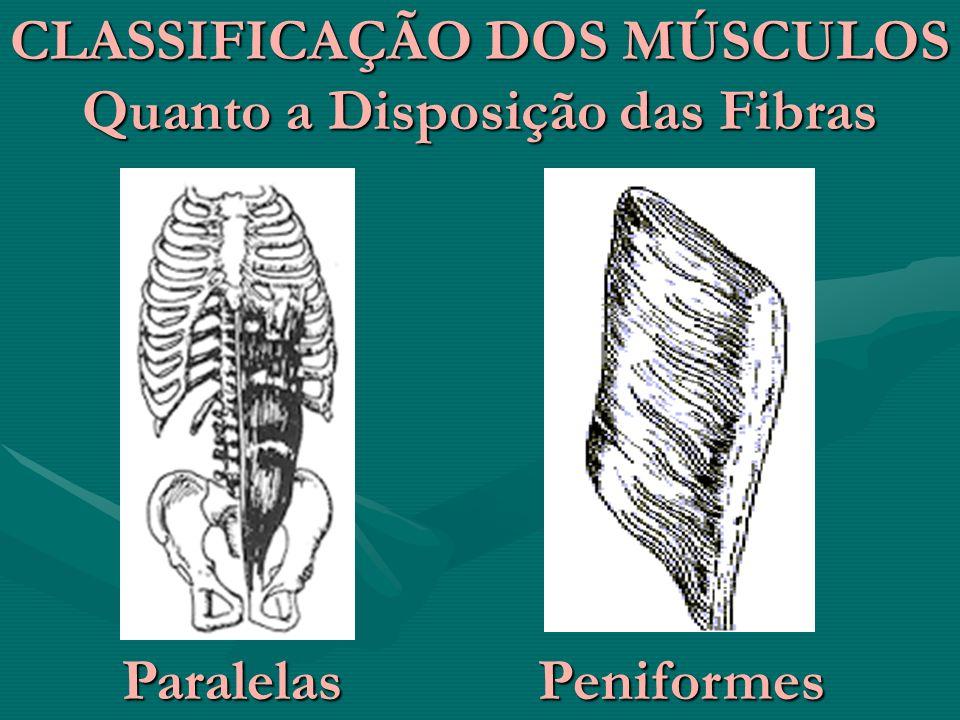 CLASSIFICAÇÃO DOS MÚSCULOS Quanto a Disposição das Fibras ParalelasPeniformes