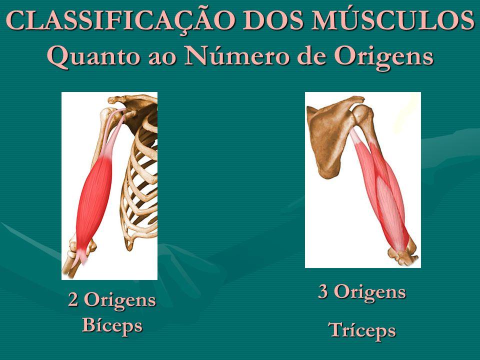 CLASSIFICAÇÃO DOS MÚSCULOS Quanto ao Número de Origens 2 Origens Bíceps 3 Origens Tríceps