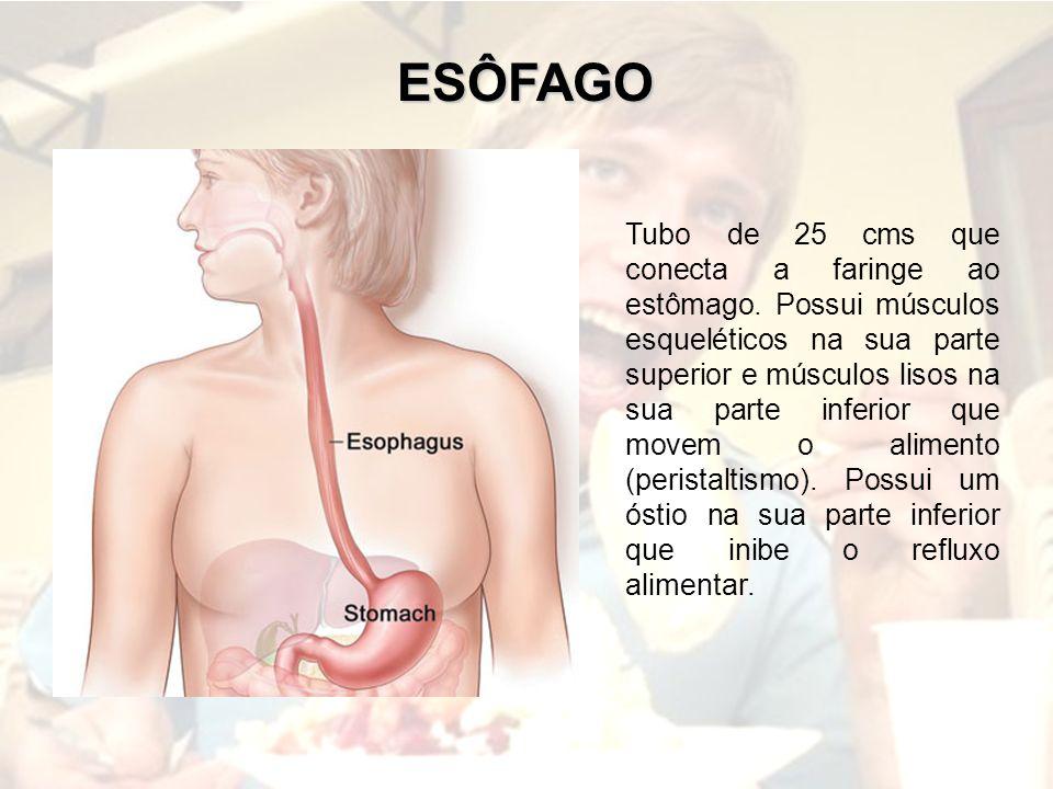 ESÔFAGO Tubo de 25 cms que conecta a faringe ao estômago. Possui músculos esqueléticos na sua parte superior e músculos lisos na sua parte inferior qu