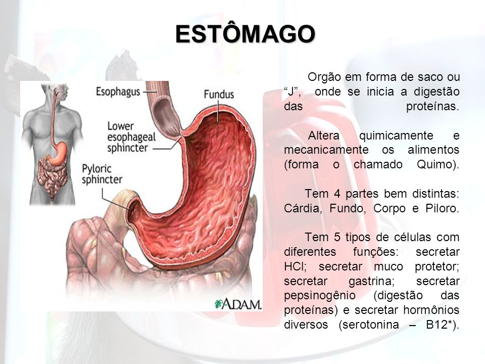 ESTÔMAGO Orgão em forma de saco ou J, onde se inicia a digestão das proteínas. Altera quimicamente e mecanicamente os alimentos (forma o chamado Quimo