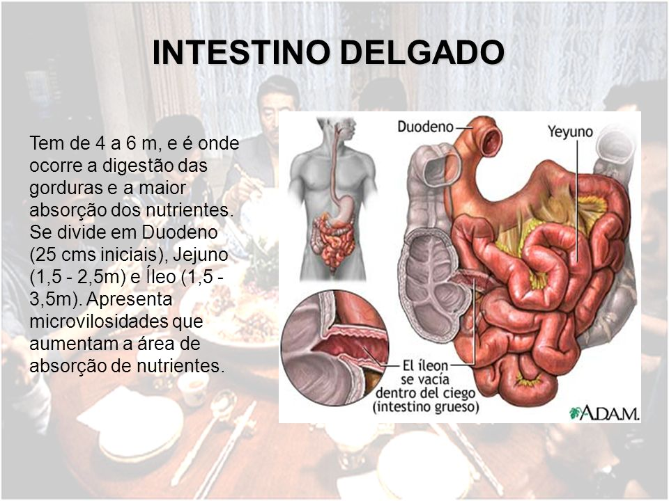 INTESTINO DELGADO Tem de 4 a 6 m, e é onde ocorre a digestão das gorduras e a maior absorção dos nutrientes. Se divide em Duodeno (25 cms iniciais), J