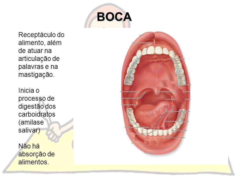 BOCA Receptáculo do alimento, além de atuar na articulação de palavras e na mastigação. Inicia o processo de digestão dos carboidratos (amilase saliva