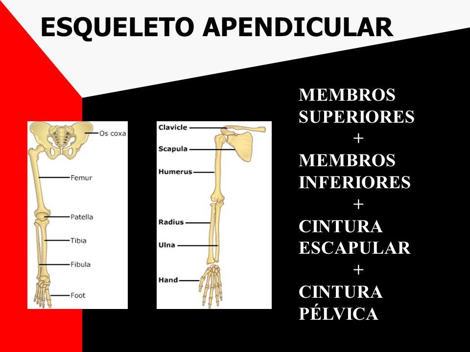 ESQUELETO APENDICULAR MEMBROS SUPERIORES + MEMBROS INFERIORES + CINTURA ESCAPULAR + CINTURA PÉLVICA