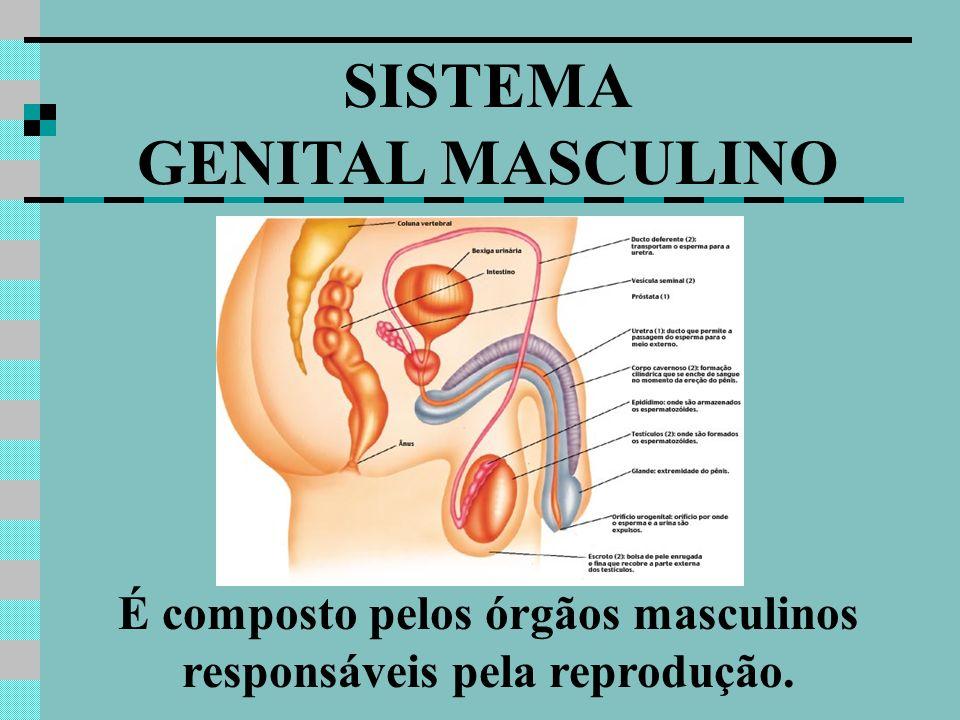 SISTEMA GENITAL MASCULINO É composto pelos órgãos masculinos responsáveis pela reprodução.