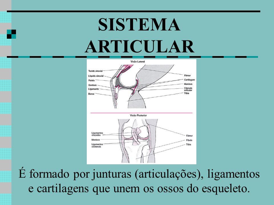 SISTEMA ARTICULAR É formado por junturas (articulações), ligamentos e cartilagens que unem os ossos do esqueleto.