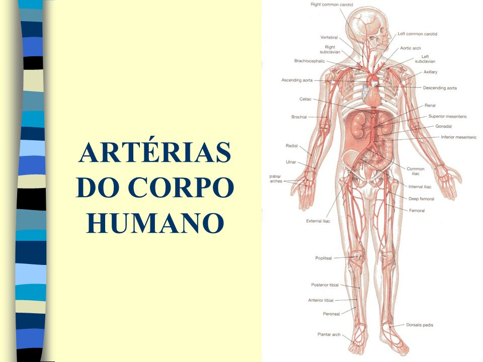 ARTÉRIAS DO CORPO HUMANO
