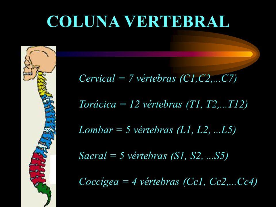 COLUNA VERTEBRAL Cervical = 7 vértebras (C1,C2,...C7) Torácica = 12 vértebras (T1, T2,...T12) Lombar = 5 vértebras (L1, L2,...L5) Sacral = 5 vértebras