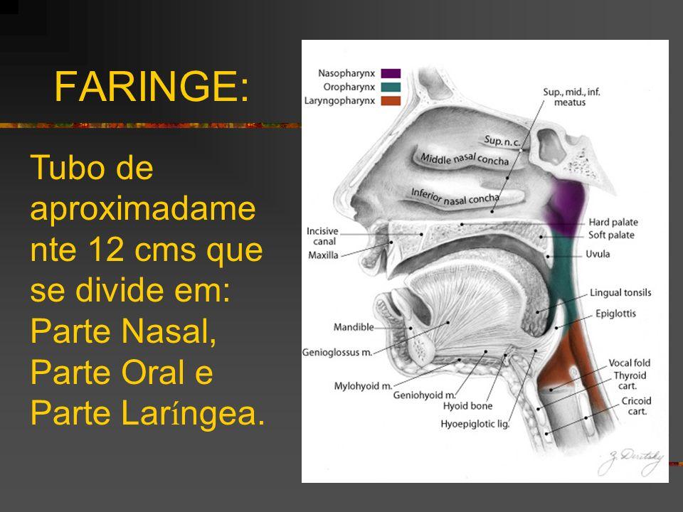 FARINGE: Tubo de aproximadame nte 12 cms que se divide em: Parte Nasal, Parte Oral e Parte Lar í ngea.