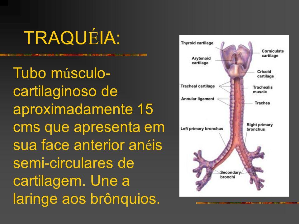 TRAQU É IA: Tubo m ú sculo- cartilaginoso de aproximadamente 15 cms que apresenta em sua face anterior an é is semi-circulares de cartilagem. Une a la