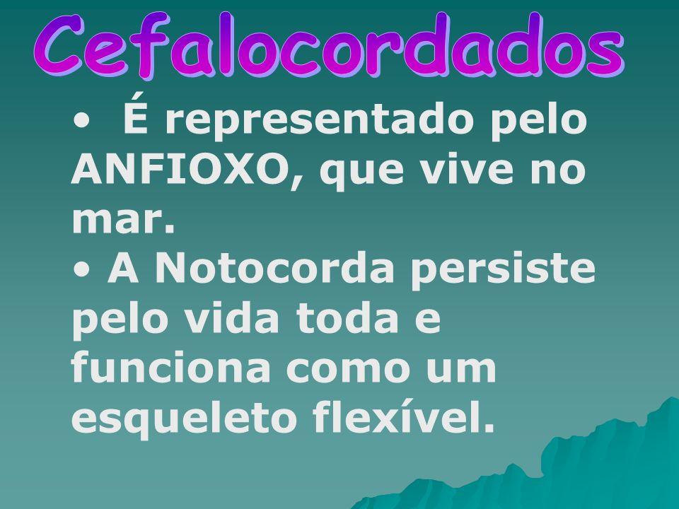 É representado pelo ANFIOXO, que vive no mar. A Notocorda persiste pelo vida toda e funciona como um esqueleto flexível.