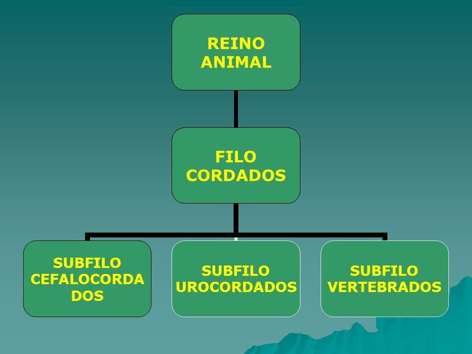 REINO ANIMAL FILO CORDADOS SUBFILO CEFALOCORDADOS SUBFILO UROCORDADOS SUBFILO VERTEBRADOS