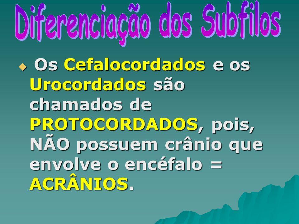 Os Cefalocordados e os Urocordados são chamados de PROTOCORDADOS, pois, NÃO possuem crânio que envolve o encéfalo = ACRÂNIOS. Os Cefalocordados e os U