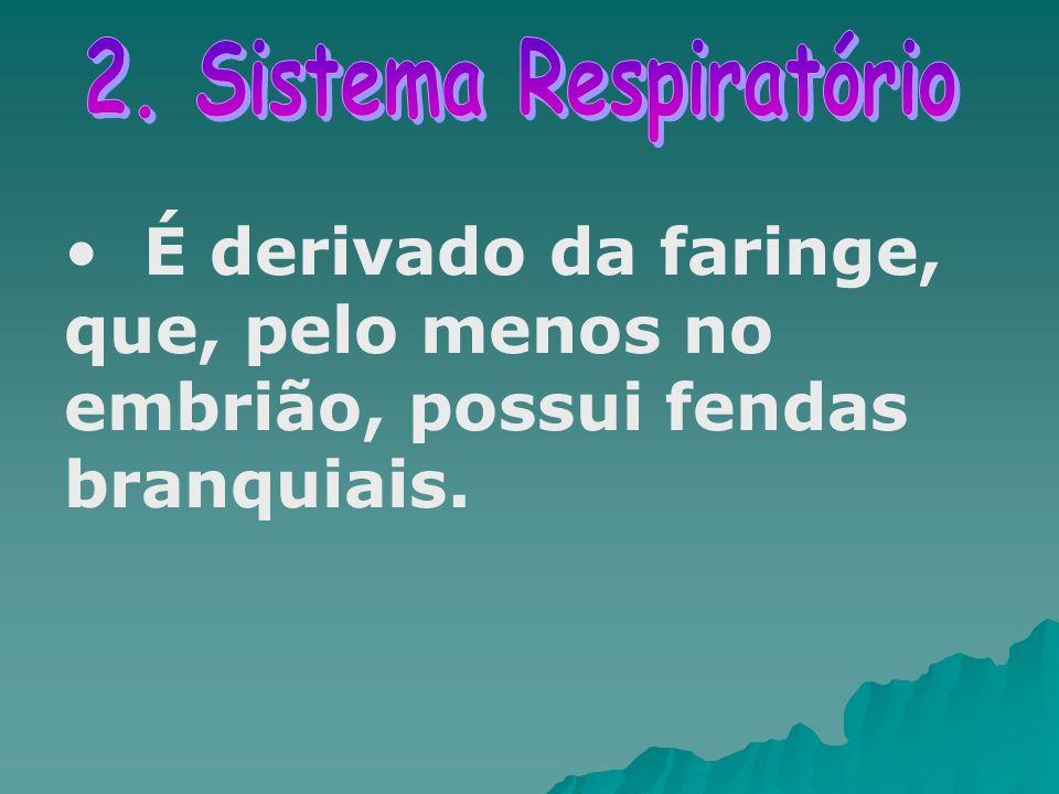 É derivado da faringe, que, pelo menos no embrião, possui fendas branquiais.