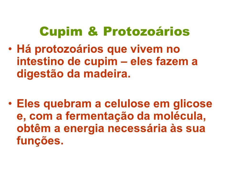 Cupim & Protozoários Há protozoários que vivem no intestino de cupim – eles fazem a digestão da madeira. Eles quebram a celulose em glicose e, com a f