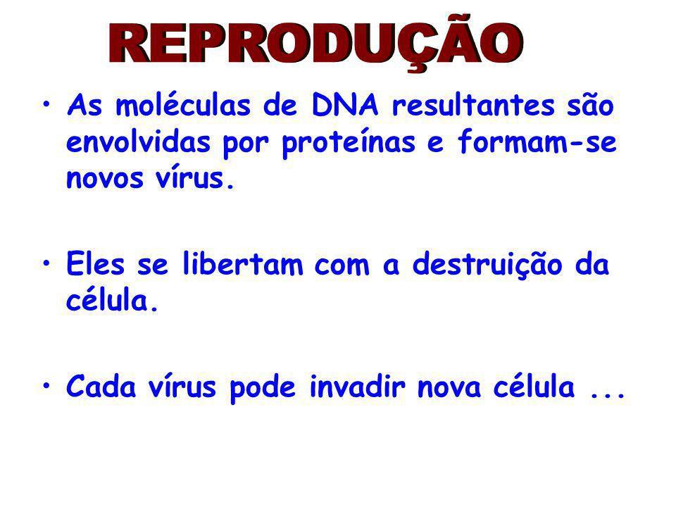 As moléculas de DNA resultantes são envolvidas por proteínas e formam-se novos vírus. Eles se libertam com a destruição da célula. Cada vírus pode inv
