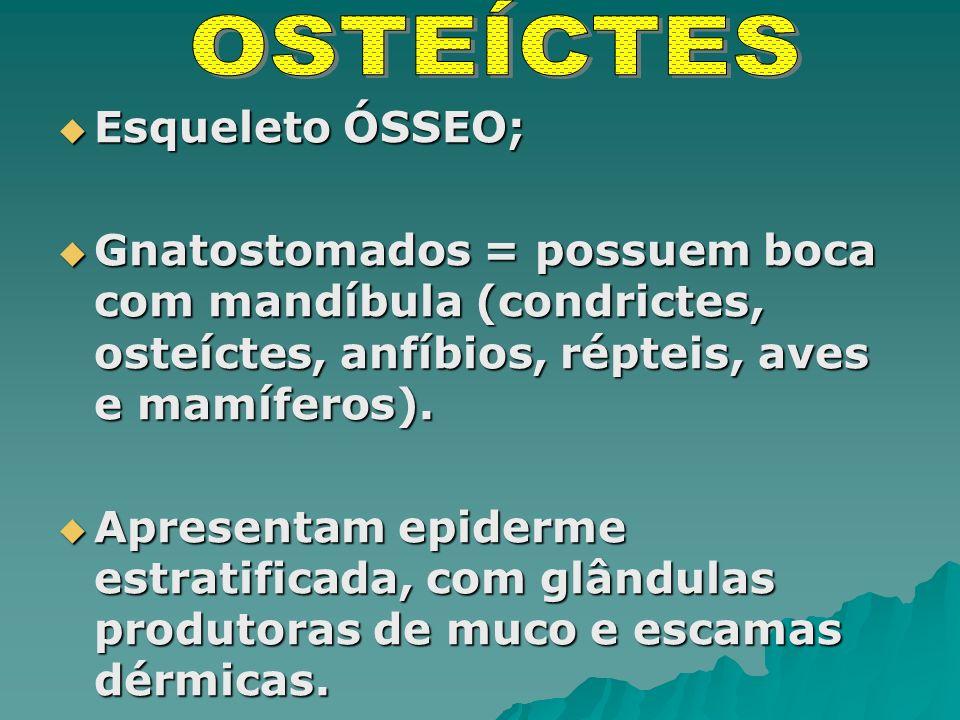 Esqueleto ÓSSEO; Esqueleto ÓSSEO; Gnatostomados = possuem boca com mandíbula (condrictes, osteíctes, anfíbios, répteis, aves e mamíferos).