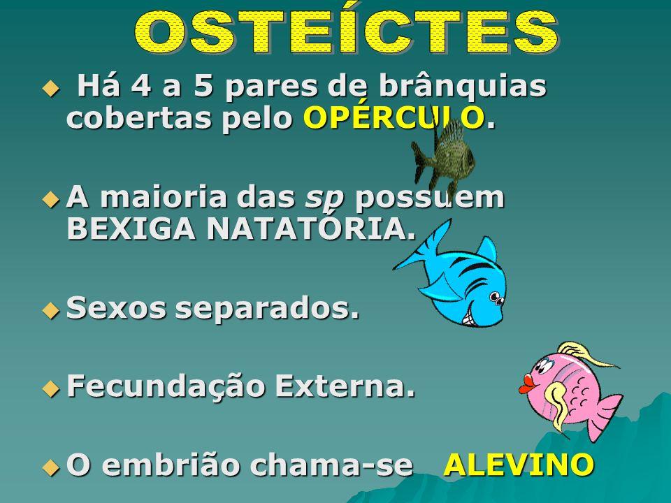 Há 4 a 5 pares de brânquias cobertas pelo OPÉRCULO.