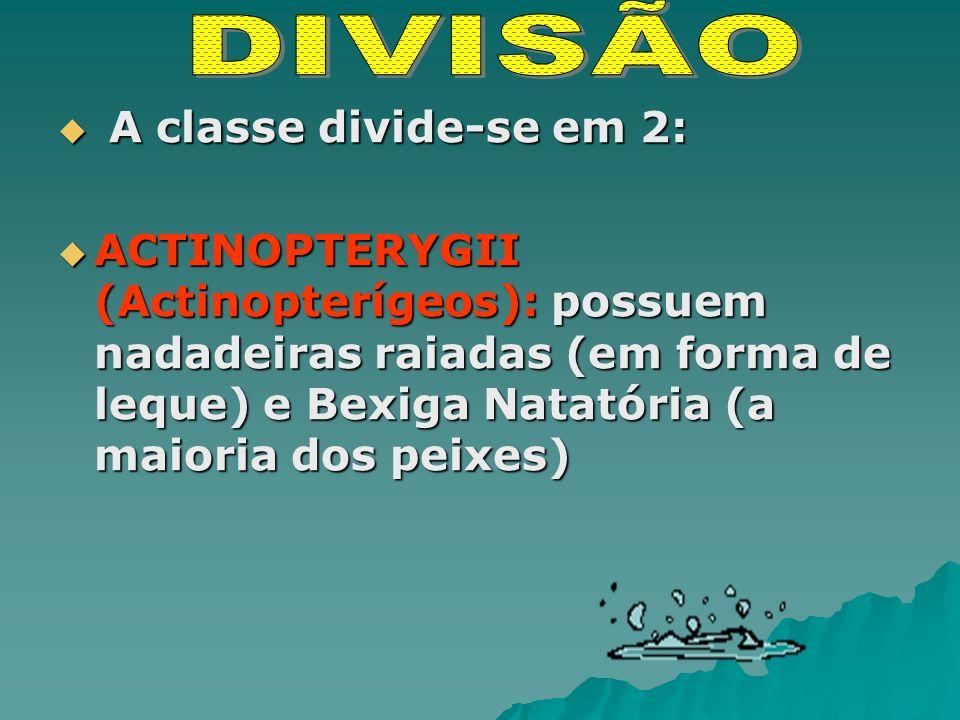 A classe divide-se em 2: A classe divide-se em 2: ACTINOPTERYGII (Actinopterígeos): possuem nadadeiras raiadas (em forma de leque) e Bexiga Natatória (a maioria dos peixes) ACTINOPTERYGII (Actinopterígeos): possuem nadadeiras raiadas (em forma de leque) e Bexiga Natatória (a maioria dos peixes)
