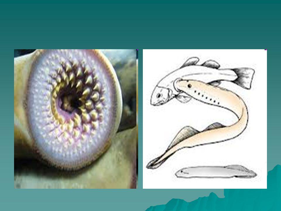 A classe divide-se em 2: A classe divide-se em 2: SARCOPTERYGII (Sarcopterígeos): possuem nadadeiras carnosas, com suporte ósseo e pulmão primitivo (peixes dipnóicos = pulmonados) SARCOPTERYGII (Sarcopterígeos): possuem nadadeiras carnosas, com suporte ósseo e pulmão primitivo (peixes dipnóicos = pulmonados)