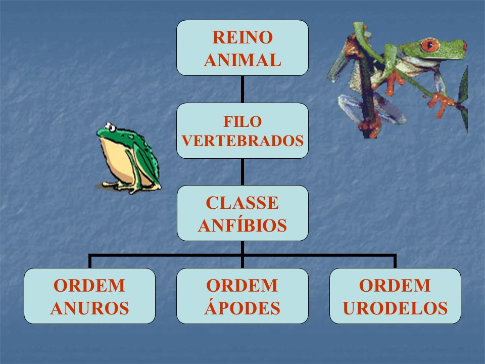 REINO ANIMAL FILO VERTEBRADOS CLASSE ANFÍBIOS ORDEM ANUROS ORDEM ÁPODES ORDEM URODELOS