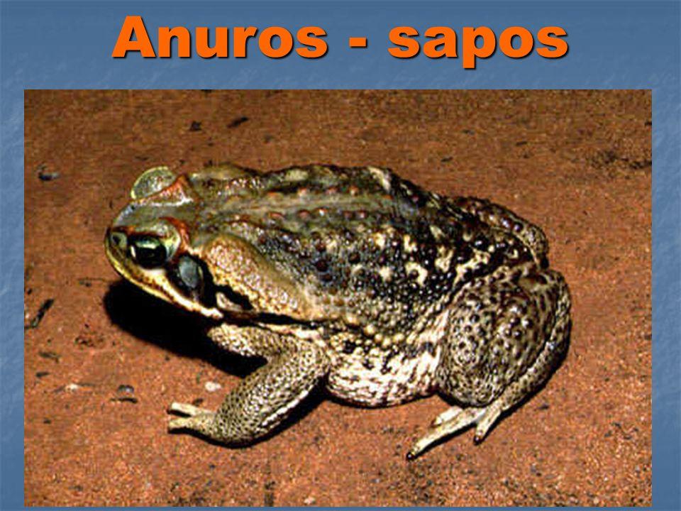 Anuros - sapos