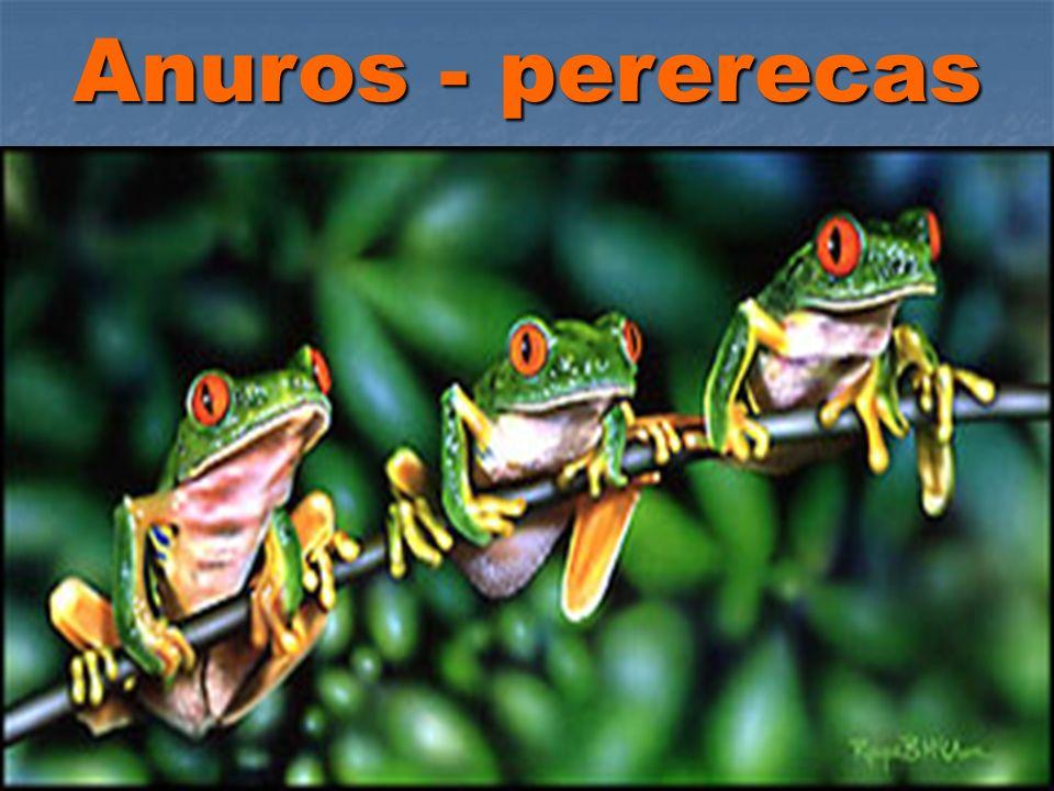 Anuros - pererecas