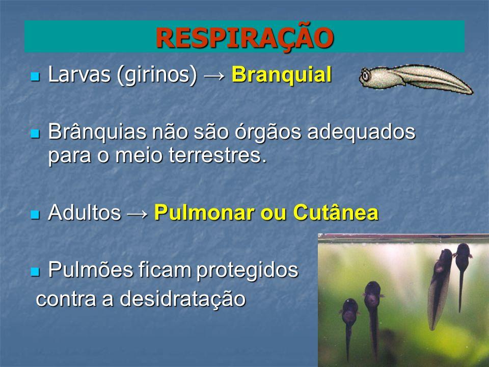 Larvas (girinos) Branquial Larvas (girinos) Branquial Brânquias não são órgãos adequados para o meio terrestres. Brânquias não são órgãos adequados pa