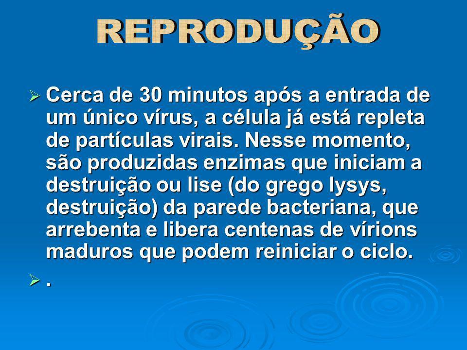 Cerca de 30 minutos após a entrada de um único vírus, a célula já está repleta de partículas virais. Nesse momento, são produzidas enzimas que iniciam