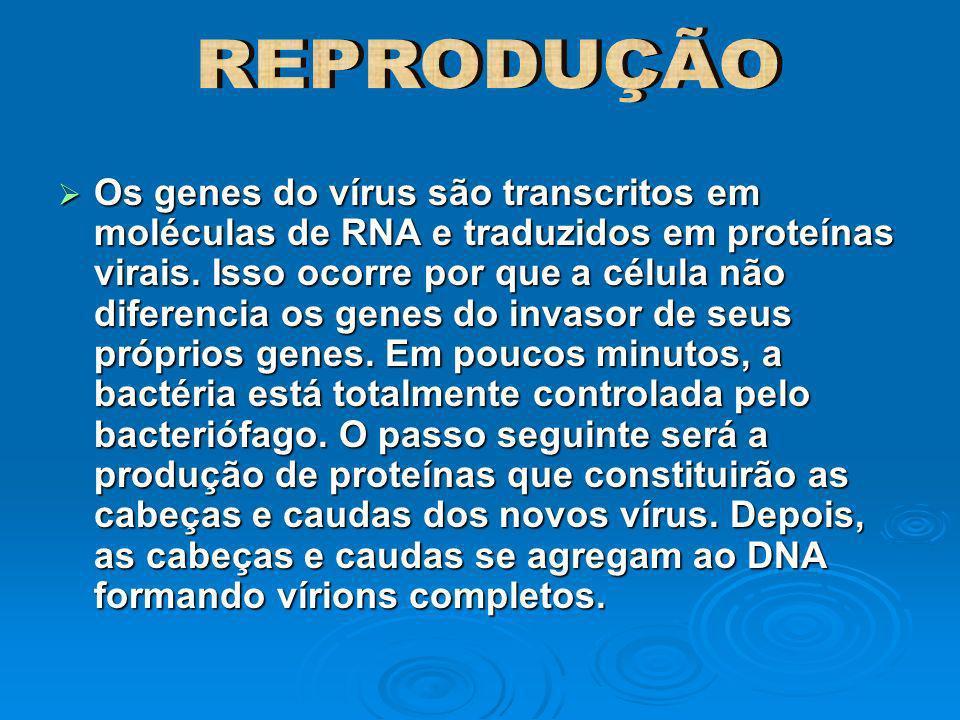 Os genes do vírus são transcritos em moléculas de RNA e traduzidos em proteínas virais. Isso ocorre por que a célula não diferencia os genes do invaso