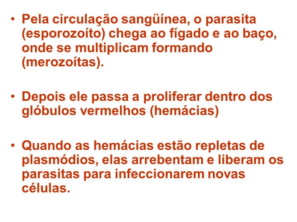 Pela circulação sangüínea, o parasita (esporozoíto) chega ao fígado e ao baço, onde se multiplicam formando (merozoítas). Depois ele passa a prolifera