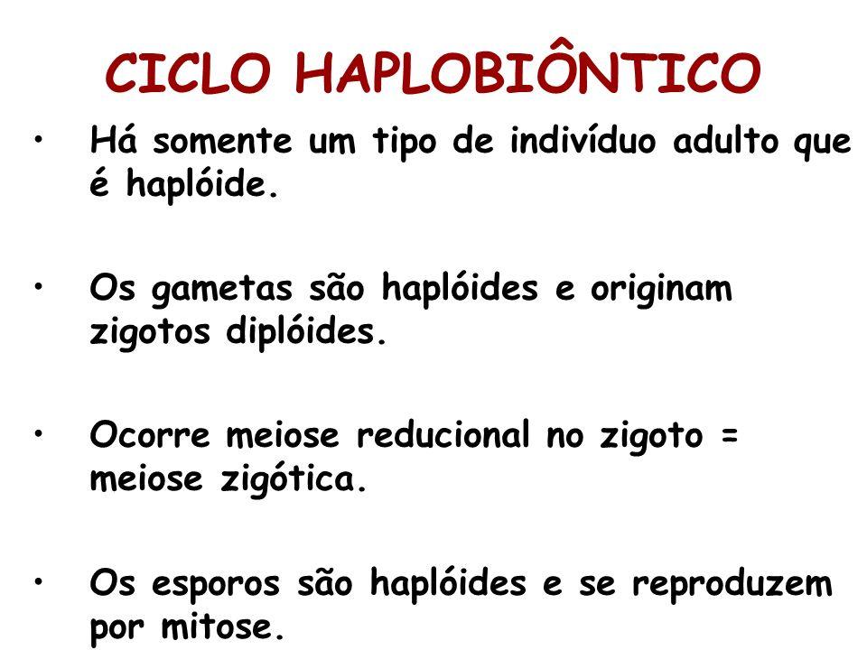 Há somente um tipo de indivíduo adulto que é haplóide. Os gametas são haplóides e originam zigotos diplóides. Ocorre meiose reducional no zigoto = mei