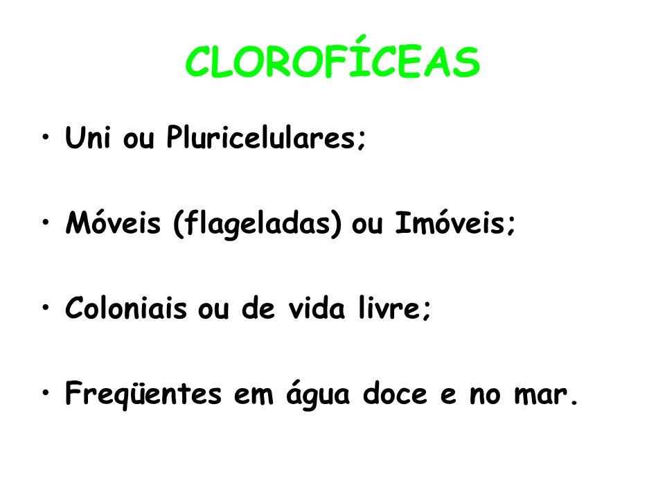 CLOROFÍCEAS Uni ou Pluricelulares; Móveis (flageladas) ou Imóveis; Coloniais ou de vida livre; Freqüentes em água doce e no mar.