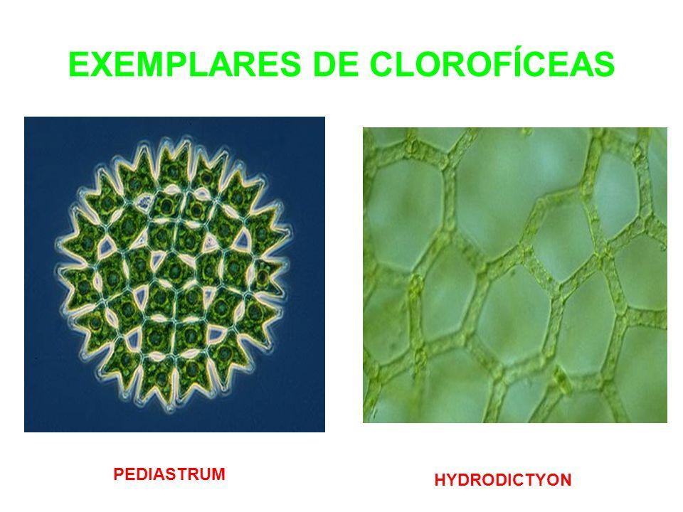 EXEMPLARES DE CLOROFÍCEAS PEDIASTRUM HYDRODICTYON