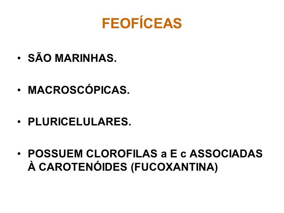 FEOFÍCEAS SÃO MARINHAS. MACROSCÓPICAS. PLURICELULARES. POSSUEM CLOROFILAS a E c ASSOCIADAS À CAROTENÓIDES (FUCOXANTINA)