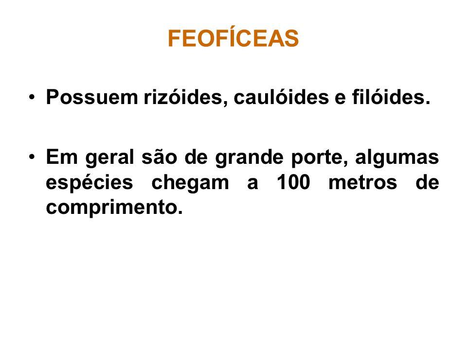 FEOFÍCEAS Possuem rizóides, caulóides e filóides. Em geral são de grande porte, algumas espécies chegam a 100 metros de comprimento.