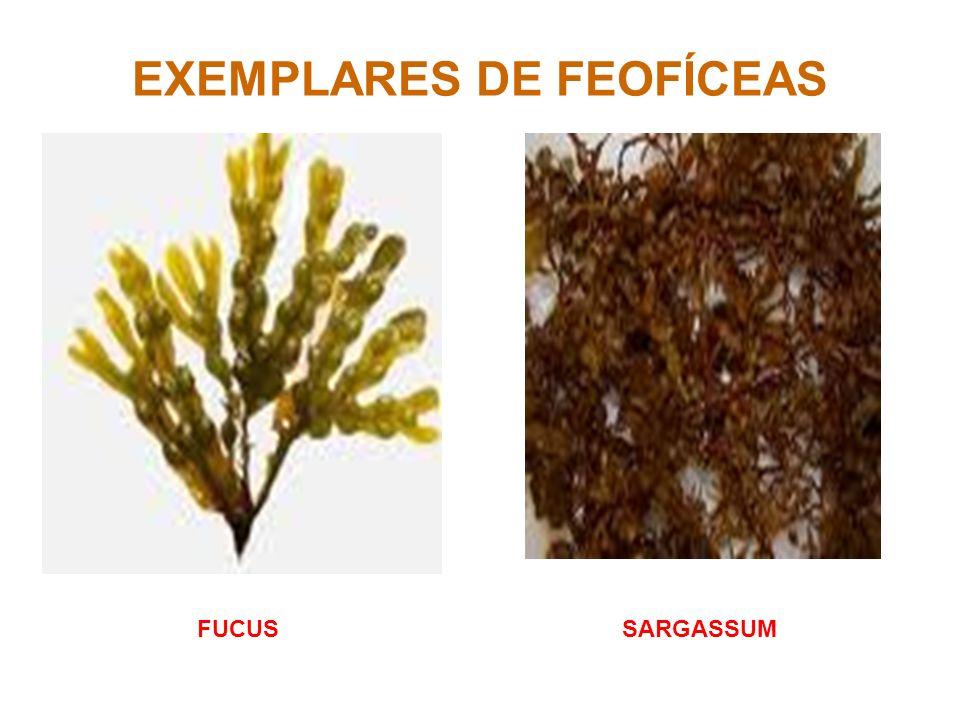 EXEMPLARES DE FEOFÍCEAS FUCUSSARGASSUM