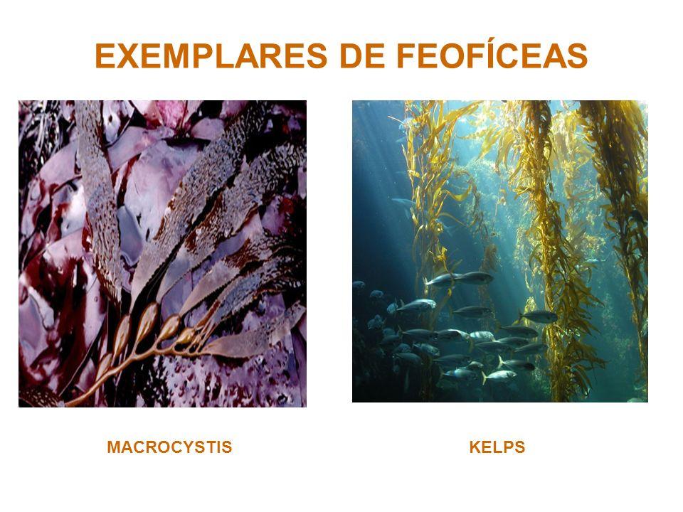 EXEMPLARES DE FEOFÍCEAS MACROCYSTISKELPS