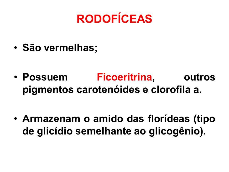 RODOFÍCEAS São vermelhas; Possuem Ficoeritrina, outros pigmentos carotenóides e clorofila a. Armazenam o amido das florídeas (tipo de glicídio semelha