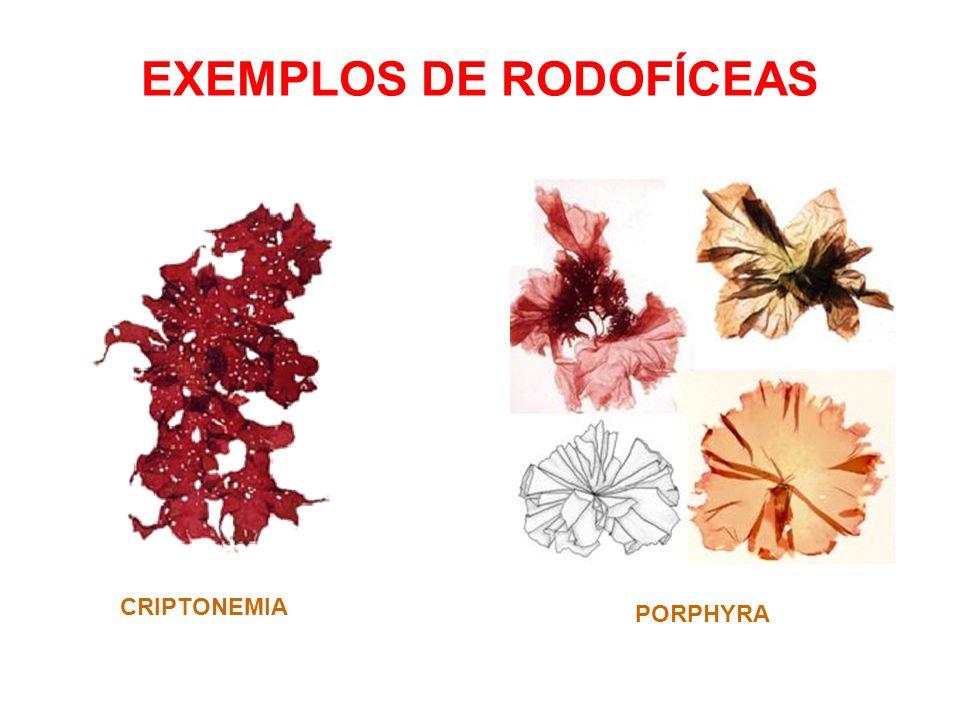 EXEMPLOS DE RODOFÍCEAS CRIPTONEMIA PORPHYRA