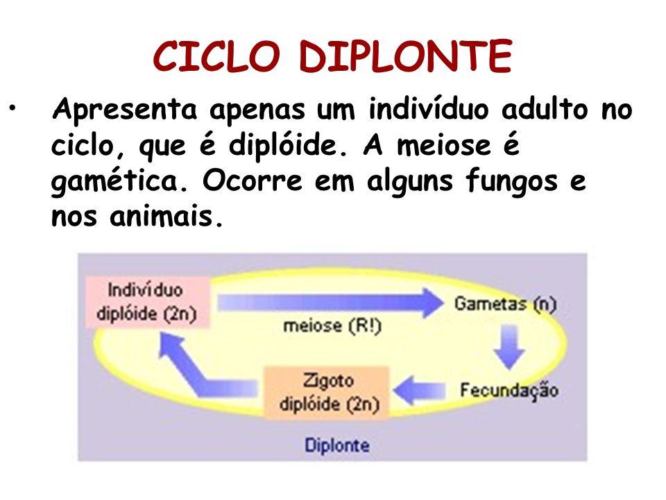 CICLO DIPLONTE Apresenta apenas um indivíduo adulto no ciclo, que é diplóide. A meiose é gamética. Ocorre em alguns fungos e nos animais.