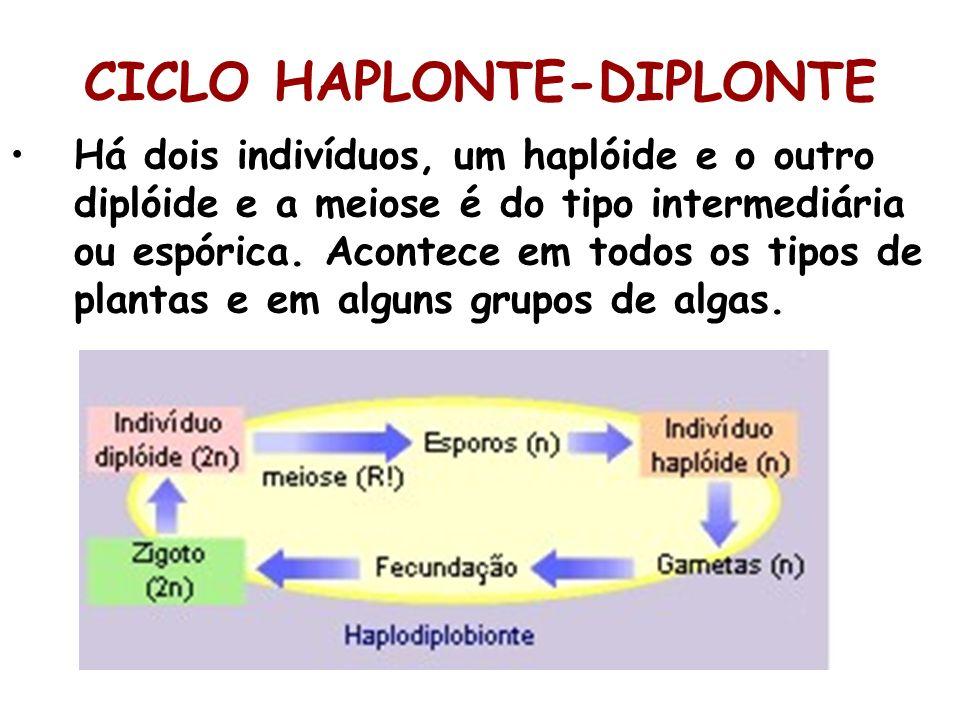 CICLO HAPLONTE-DIPLONTE Há dois indivíduos, um haplóide e o outro diplóide e a meiose é do tipo intermediária ou espórica. Acontece em todos os tipos