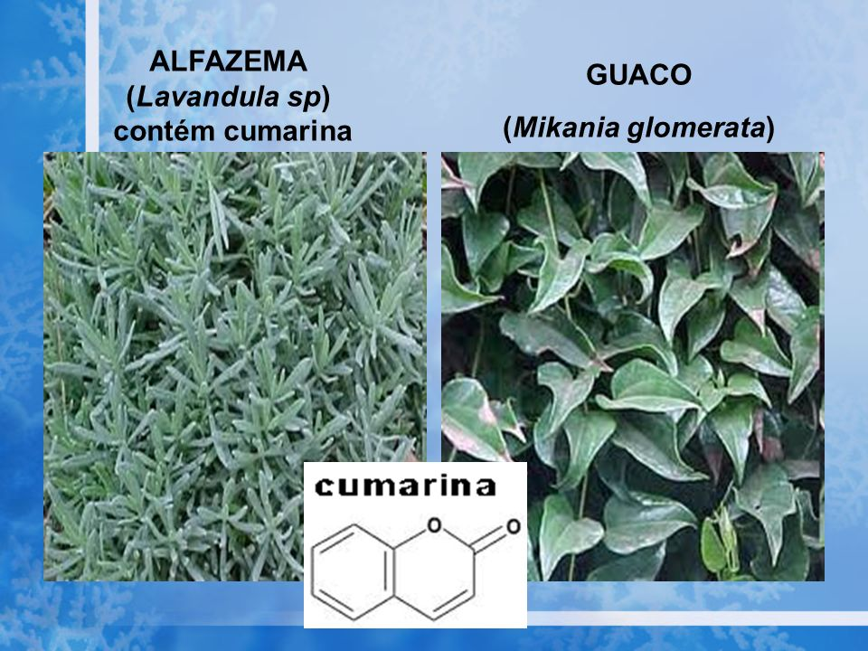 GUACO (Mikania glomerata) ALFAZEMA (Lavandula sp) contém cumarina