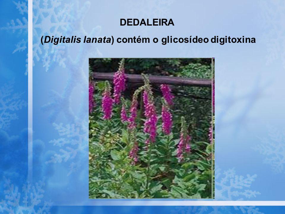 DEDALEIRA (Digitalis lanata) contém o glicosídeo digitoxina