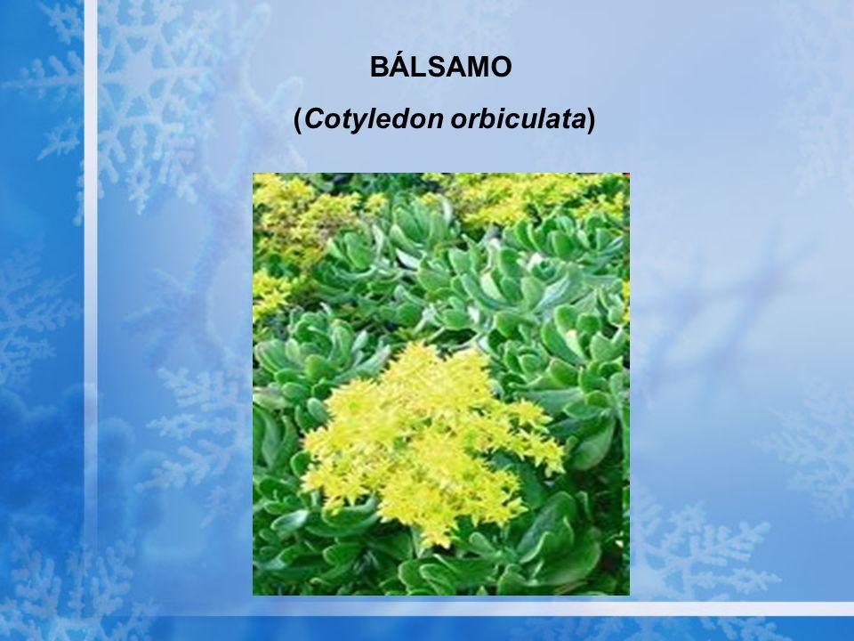 BÁLSAMO (Cotyledon orbiculata)