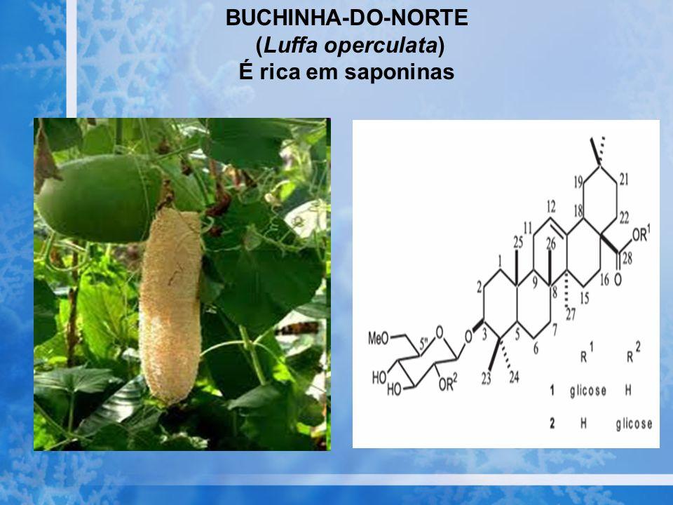BUCHINHA-DO-NORTE (Luffa operculata) É rica em saponinas