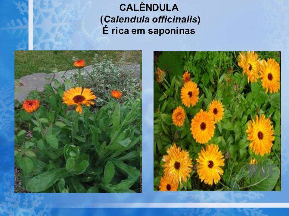 CALÊNDULA (Calendula officinalis) É rica em saponinas