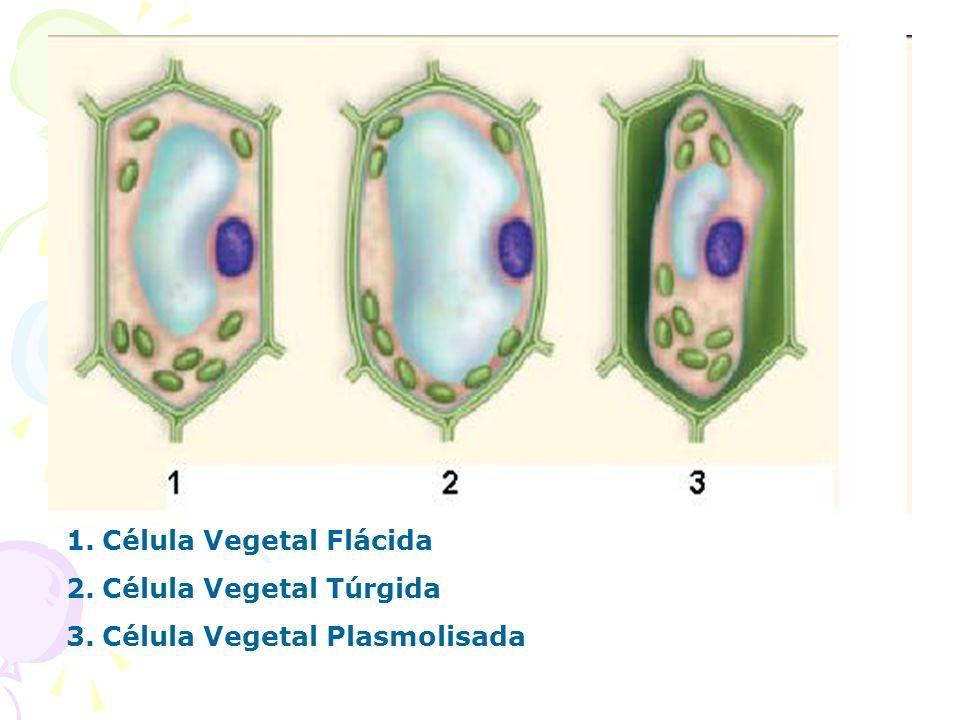 1.Célula Vegetal Flácida 2.Célula Vegetal Túrgida 3.Célula Vegetal Plasmolisada