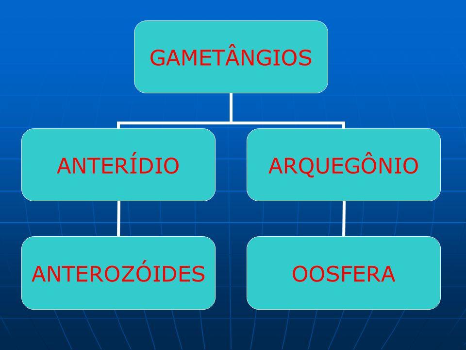 GAMETÂNGIOS ANTERÍDIO ANTEROZÓIDES ARQUEGÔNIO OOSFERA