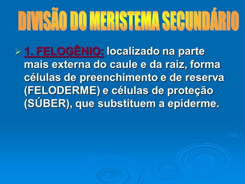1. FELOGÊNIO: localizado na parte mais externa do caule e da raiz, forma células de preenchimento e de reserva (FELODERME) e células de proteção (SÚBE
